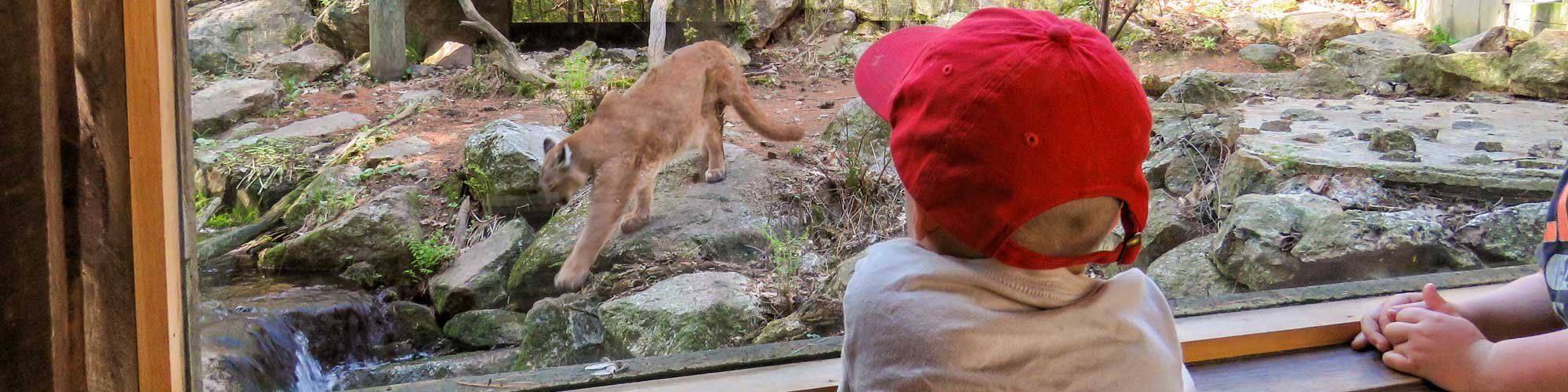 Up close with a mountain lion